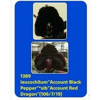 Account Black Pepper x Account Red Dragon.jpg