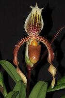 Paph-Tringiense-flower2.JPG
