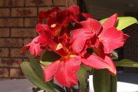 C. Jewel Red 'Shinzu'_2_10-July2021.jpg