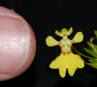 Erycina 2.jpg