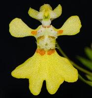 Erycina 4.jpg