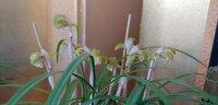 Cymbidium goeringii Mangetsu 2021 flower.jpg