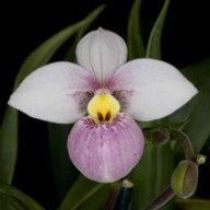 Orchideric