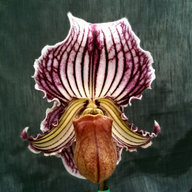orchidmaven