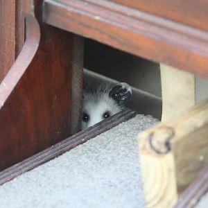 Possum hiding inside Mom's organ