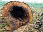 Oak-trunk.jpg