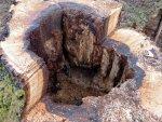 Oak stump.jpg