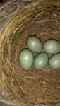 blackbird eggs.jpg