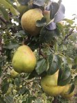 pear.reduced.JPG
